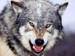 Crafty Wolf's Photo